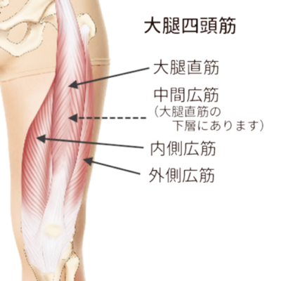 膝の痛みに関する足の筋肉の説明